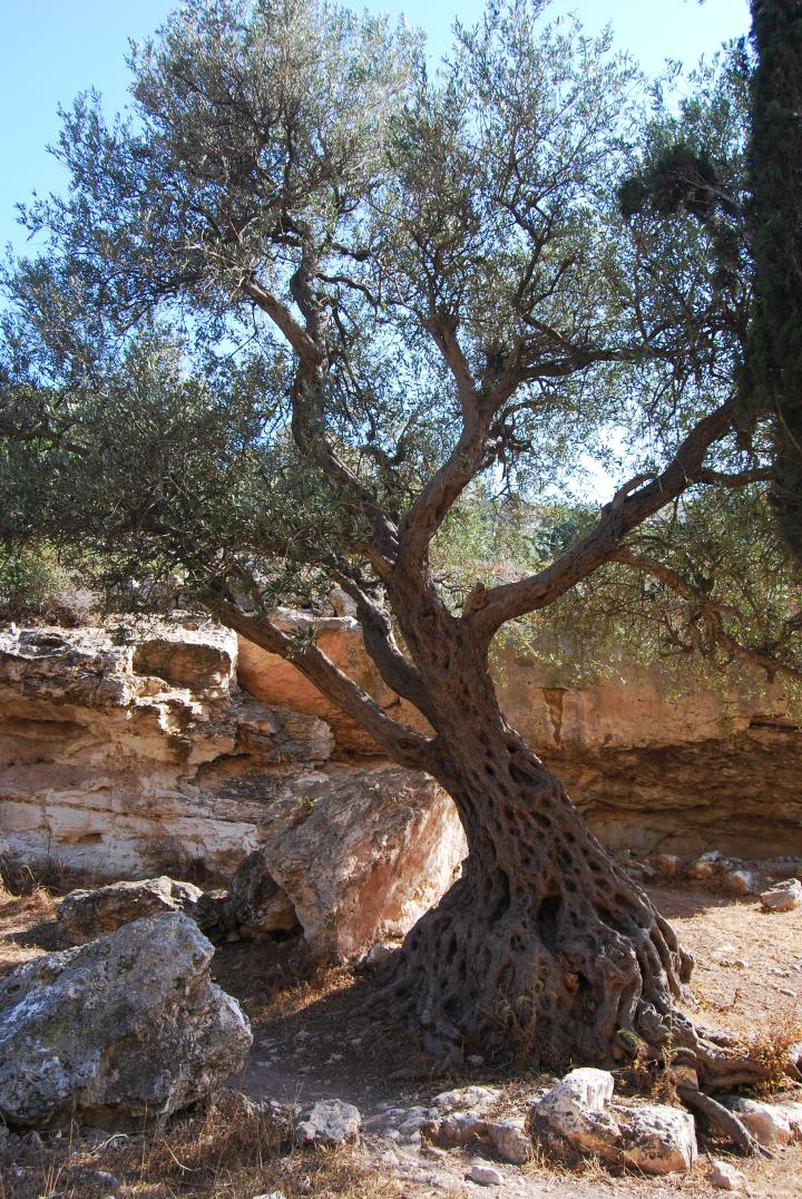Siakh brook: olive tree near the spring