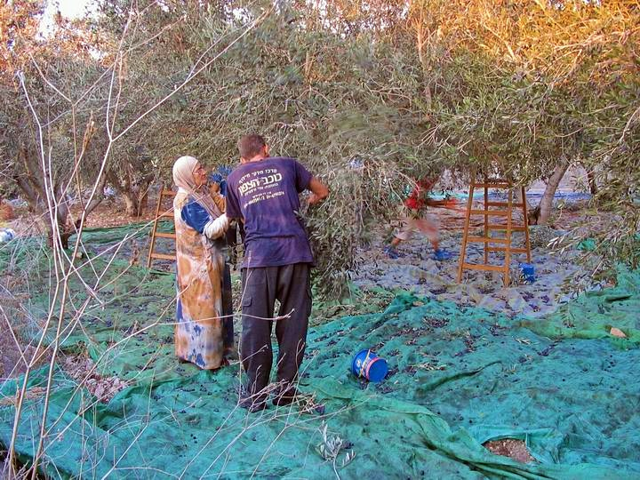 Collecting the olives on top of Tell Kisson. The branches are shaken, and the olives fall down on the blanket.