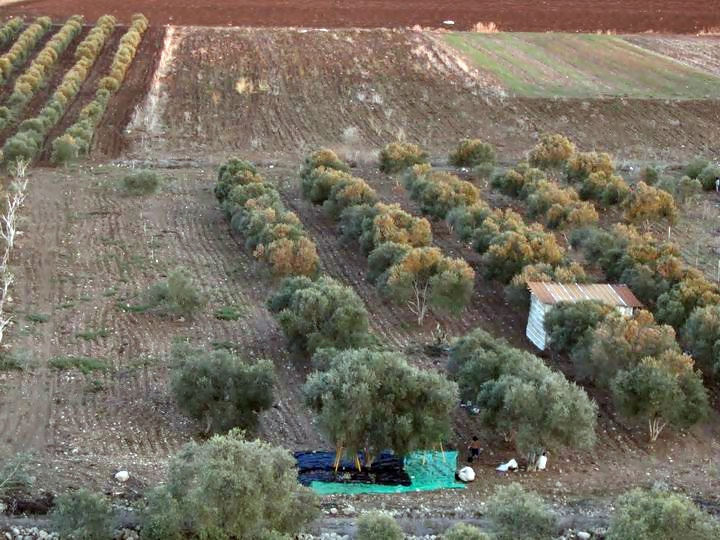A view towards the east side of Tell Kisson, and another family is collecting olives
