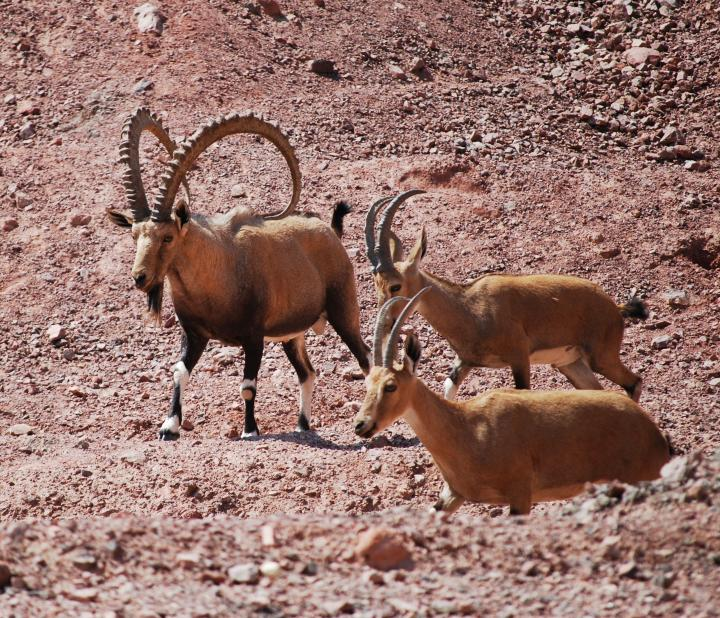 Eilat mountains - Ibex