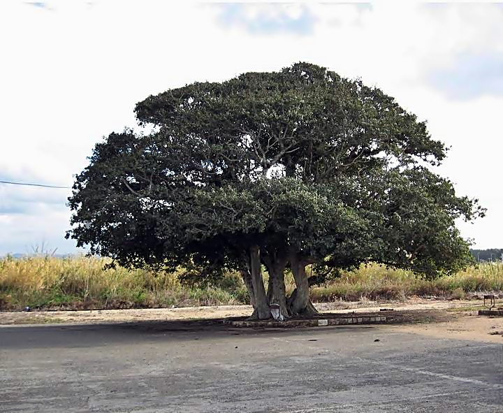 Large tree in the parking lot of Achziv national park.