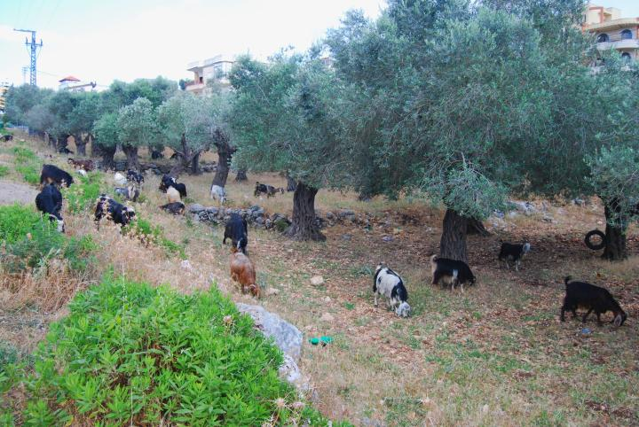 Goats and olive trees