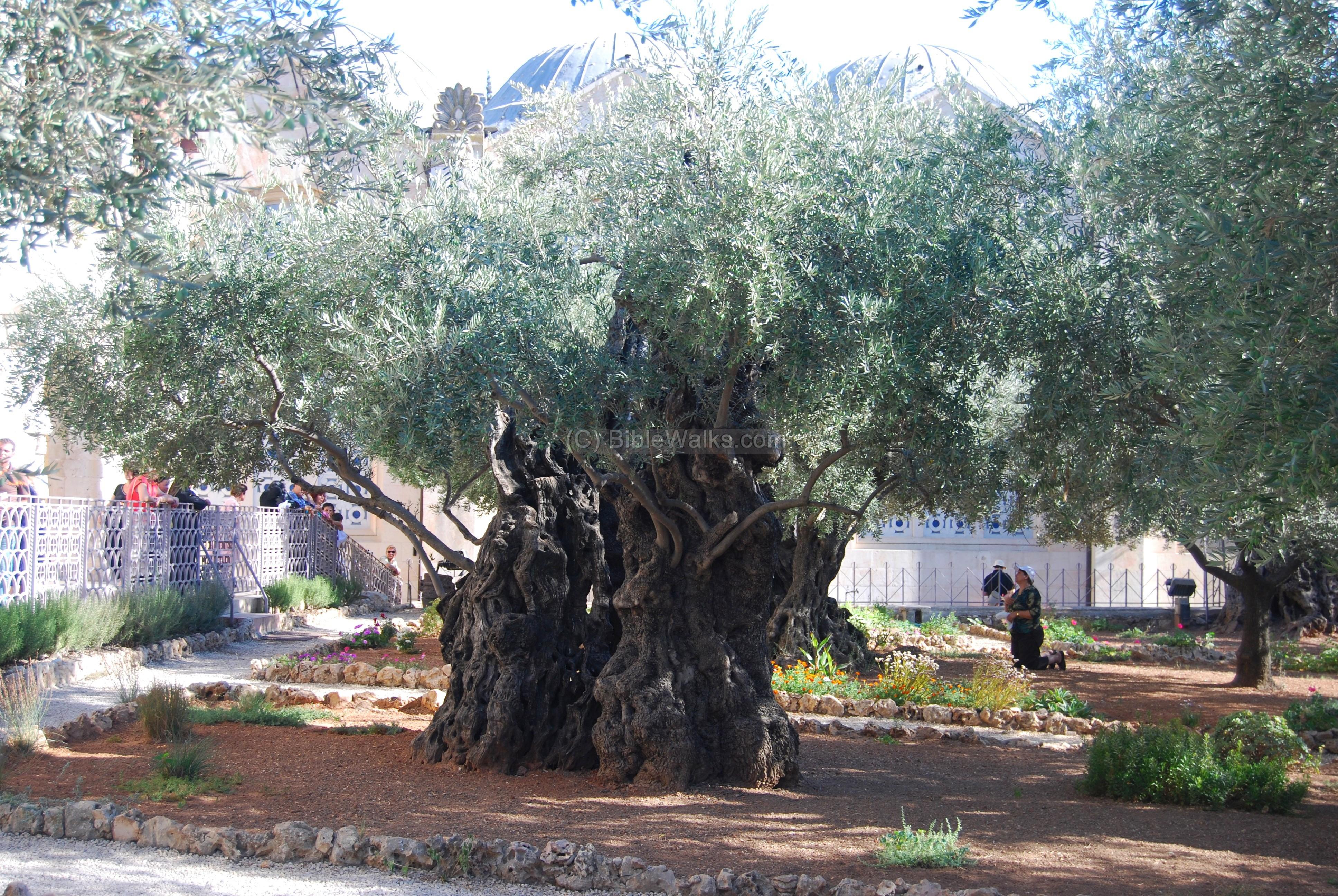 Basilica of Agony - Gethsemane