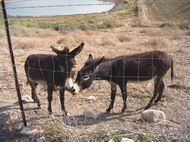 Donkeys in the nature reserve in Tell Yifar (Balfouriya)